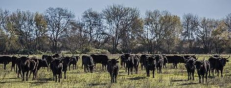 Camargue cattle, Saint-Gilles 02.jpg