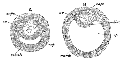 Cambridge Natural History Mammalia Fig 045.png