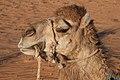 Camel (4803945869).jpg