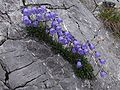 Campanula cochlearifolia a5.jpg