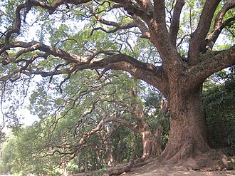 Cinnamomum camphora - Camphor grove in Hong Kong