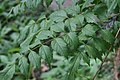 Campsis grandiflora 1zz.jpg