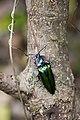 Campsosternus mirabilis (35634857396).jpg
