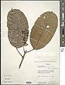 Camptostylus mannii-NMNH-03020585.jpg