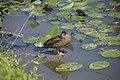 Canard colvert (femelle) (Anas platyrhynchos).jpg