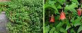 Canarina canariensis.jpg