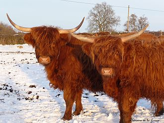 Highland cattle - The hair on Highland cattle gives protection during the cold winters.