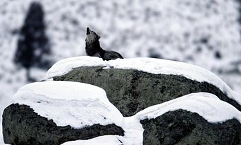 Canis lupus howling on glacial erratic.jpg