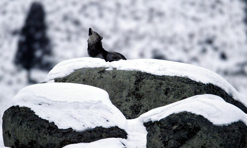 File:Canis lupus howling on glacial  erratic.jpg