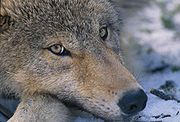 Adolescent wolf with golden-yellow eyes.