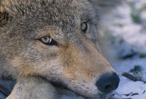 Canis lupus pup closeup