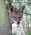 Canis mesomelas, looking behind a tree, Zoo Plzeň.jpg