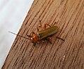 Cantharidae . Soldier Beetle (35642691501).jpg