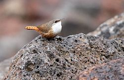 Canyon Wren26.jpg