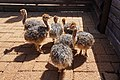 Cape Point Ostrich Farm 02.jpg