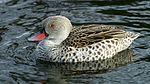 Cape Teal (Anas capensis) (1).jpg