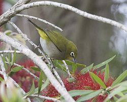 Cape White-eye (Zosterops pallidus capensis) 5.jpg