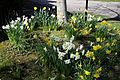 Capel Manor Gardens Enfield London England - Daffodils 02.jpg