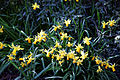 Capel Manor Gardens Enfield London England - Daffodils 07.jpg