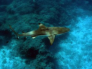 Blacktip reef shark - A blacktip reef shark in the Solomon Islands