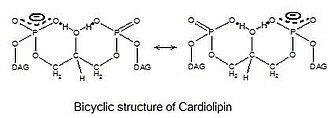 Cardiolipin - Image: Cardiolipin bicyclic structure