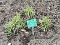 Carex flacca - Copenhagen Botanical Garden - DSC07932.JPG