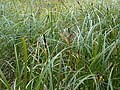 Carex sp. - wetland 1.jpg