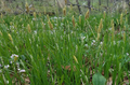 Carex woodii in Lake County, IL.png