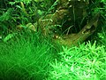 Caridina cf. cantonensis - crystal red - 2 adults.JPG