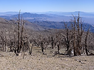 Carpenter 1 Fire - Burned trees from the Carpenter 1 fire on the upper slopes of the South Loop Trail to Charleston Peak.