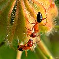 Carpenter Ants on Hibiscus furcellatus (6631299055).jpg