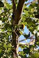 Carpintero Enmascarado, Golden Cheeked Woodpecker, Melanerpes chrysogenys (9440457740).jpg