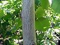 Carpinus betulus Pendula 2zz.jpg