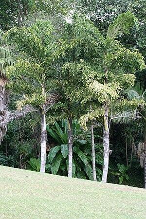 Caryota urens - Caryota urens trees.