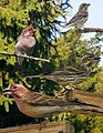 Cassin's Finch From The Crossley ID Guide Eastern Birds.jpg