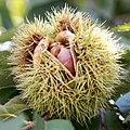 Castanea crenata 5 (cropped).jpg