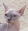 Cat - Sphynx. img 003.jpg