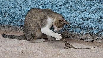 Un chat jouant avec un agame arlequin, au Laos. (définition réelle 5557×3125)