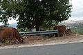Cattle (5088998399).jpg