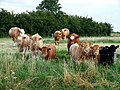 Cattle near Poolham Hall - geograph.org.uk - 580522.jpg