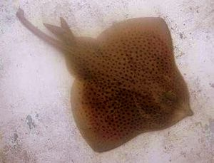 Caught on a fishing rod in Ireland spotted ray.jpg