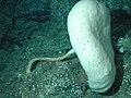 Caulophacus- NOAA Expl0816.jpg