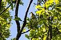 Cedar waxwing (39804134390).jpg