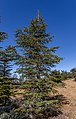 Cedrus brevifolia in Mt Tripylos, Troodos Mountains, Cyprus.jpg