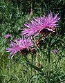Centaurea-jacaea.JPG