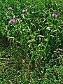 Centaurea jacea 001.jpg
