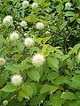 Cephalanthus occidentalis BotGardBln07122011A.JPG