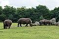 Ceratotherium simum - Serengeti-Park Hodenhagen 2017 08.jpg