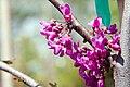 Cercis canadensis var. texensis Oklahoma 3zz.jpg