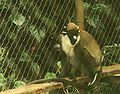 Cercopithecus petaurista Pretoria.jpg